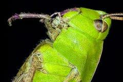 Extreme macro grasshopper Royalty Free Stock Images