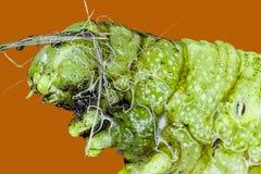 Extreme macro of green  caterpillar Stock Photos