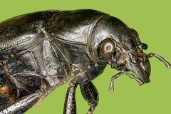 Extreme macro hardwood stump beetle Stock Image