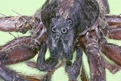 Extreme macro het springen spin Stock Afbeeldingen