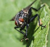 Extreme Macro from a house fly stock photo