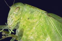 Extreme macro insect grasshopper   Stock Image