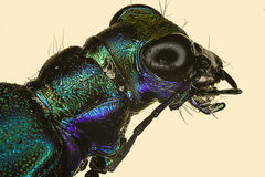 Extreme macro insect tiger beetle Royalty Free Stock Photos