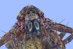 Extreme macro jumping spider Stock Images