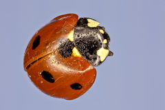 Extreme macro of a lady bug Stock Photo