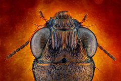 Ground beetle macro Stock Images