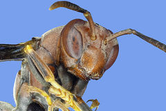Extreme macro paper wasp Stock Image