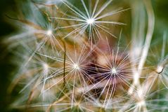 Extreme macro photography of a dandelion fluff royalty free stock image