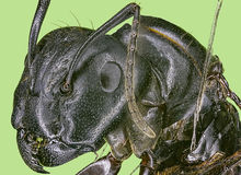 Extreme macro queen carpenter ant Royalty Free Stock Image