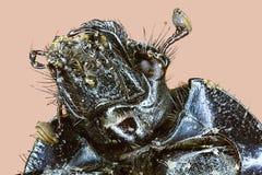 Extreme macro rain beetle Stock Photography