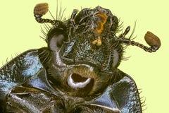 Extreme macro rain beetle Stock Images