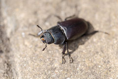 Extreme macro shot on big beatle slowly walking in garden on sun Royalty Free Stock Image