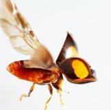 Ladybug flying   macro Stock Image
