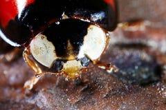 Ladybug  macro Stock Image