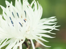 Extreme macro shot. white knapweed flower and drosophila Stock Photo