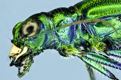 Extreme macro tiger beetle Stock Photos