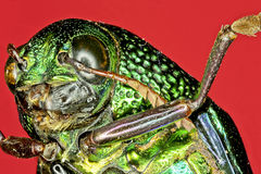 Extreme macro tiger beetle Stock Photo
