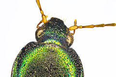 Extreme macro of a tigerbeetle Royalty Free Stock Image