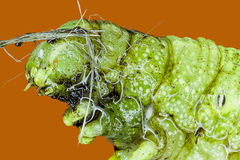 Extreme macro van groene rupsband Stock Foto's