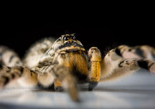 Extreme macro of venomous spider Royalty Free Stock Photo