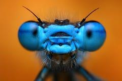 Damselfly. Extreme macro view of blue damselfly stock photo