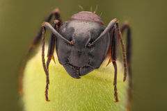Extreme magnification - Ant portrait Royalty Free Stock Image
