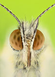 Extreme magnification - Anthocharis cardamine butterfly Royalty Free Stock Image