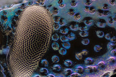 Extreme magnification - Blue metallic bug eye and skin, Meloe proscarabaeus Stock Photo