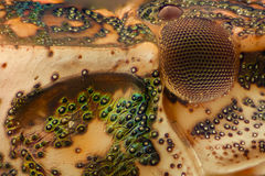 Extreme magnification - Brown Marmorated Stink Bug Halyomorpha halys details at 10x Royalty Free Stock Photography