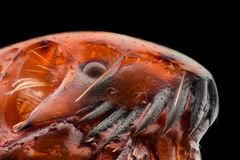 Extreme magnification - Flea at 50x. Magnification royalty free stock image