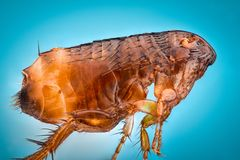 Extreme magnification - Flea at 10x. Magnification stock photo