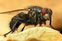 Extreme magnification - Fly, full body Royalty Free Stock Photos