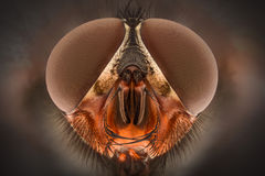 Extreme magnification - Fly head, front view stock photo