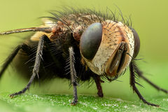 Extreme magnification - Fly on a leaf Royalty Free Stock Photography