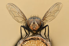 Extreme magnification - Fly liftoff Royalty Free Stock Image