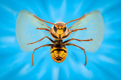 Extreme magnification - Giant Wasp in flight atacking Royalty Free Stock Image