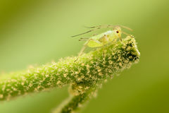Extreme magnification - Green aphids Royalty Free Stock Photos