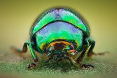 Extreme magnification - Green jewel beetle royalty free stock photo