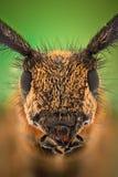 Extreme magnification - Grey Longhorn Beetle, Agapanthia villosoviridescens Royalty Free Stock Photography