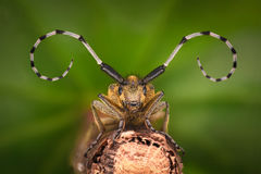 Extreme magnification - Grey Longhorn Beetle, Agapanthia villosoviridescens Stock Image