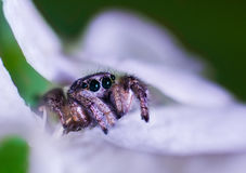 Extreme magnification - Jumping spider Royalty Free Stock Photography