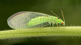 Extreme magnification - Lacewing. Pest control stock images