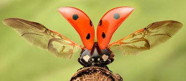 Extreme magnification - Lady bug with spread wings. On a branch Stock Photos