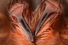 Extreme magnification - Mexican redknee tarantula fangs Stock Photos