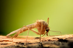 Extreme magnification - Mosquito Stock Photo