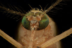 Extreme magnification - Mosquito head Royalty Free Stock Images