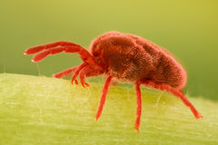 Extreme magnification - Red Velvet Mite, Trombidiidae Stock Image