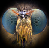 Extreme magnification - Robber fly Royalty Free Stock Photos