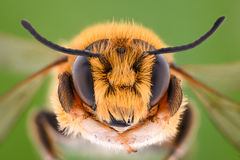 Extreme magnification - Solitaire Bee, Megachilidae Stock Images