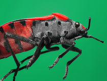 Extreme magnification and super macro topic: Red soldier bug on a green background in the studio Stock Photos